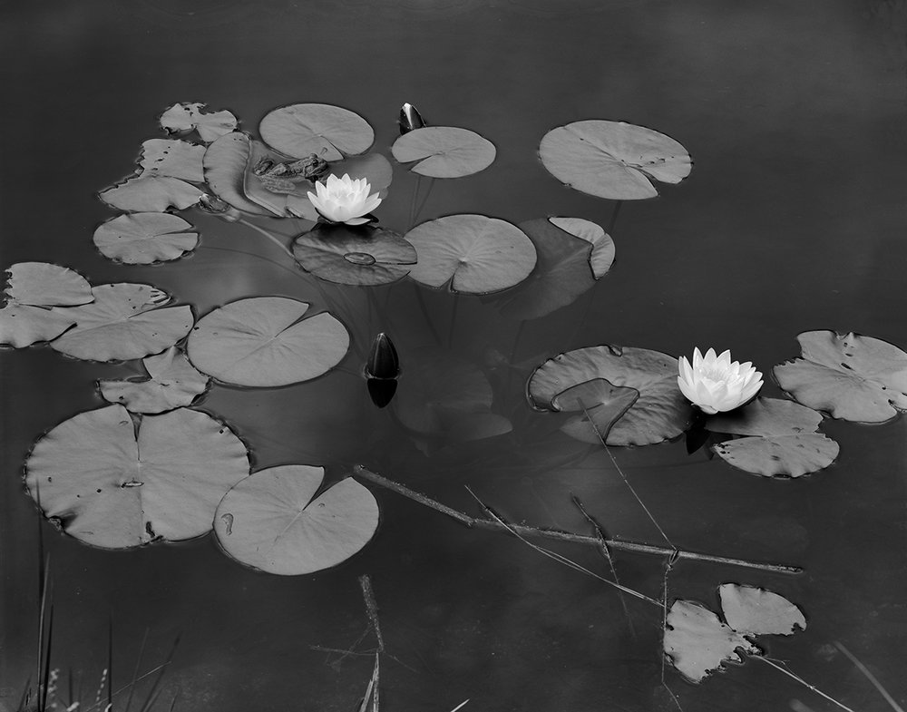 Frogs and Lilys, Vermont, 1976