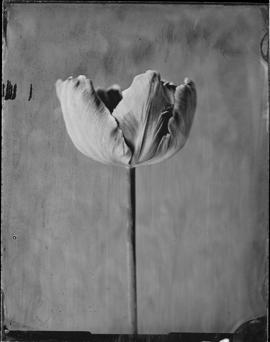 """Tulip """"Libretto Parrot"""""""