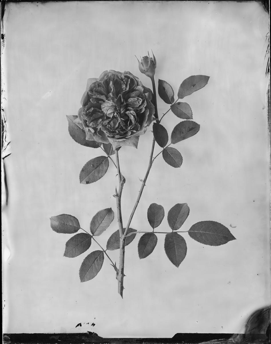 """English Rose """"William Shakespeare"""", crimson"""