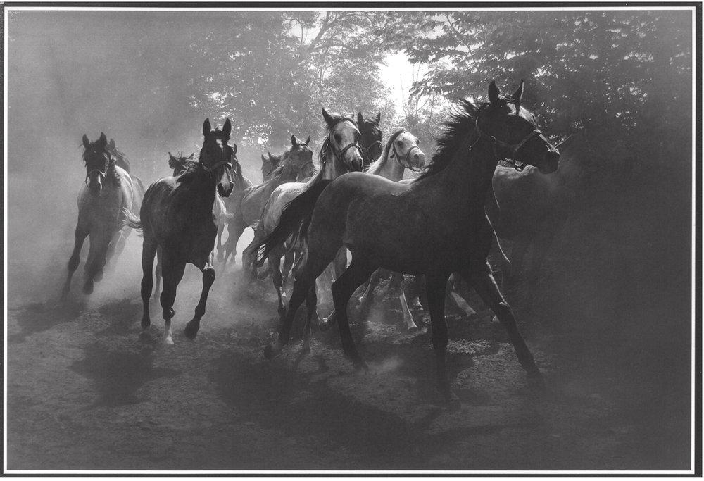 Herd VII