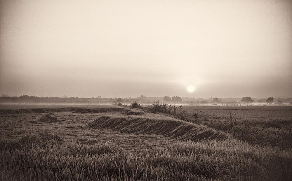 Rice Field, October
