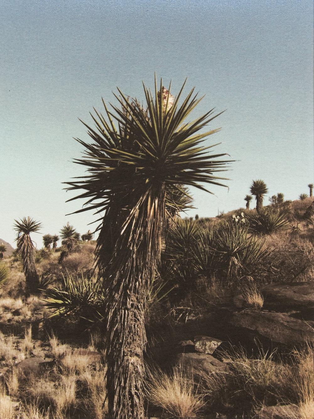 Yucca Forest Alamo Mountain
