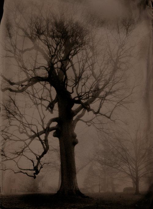 Large Oak