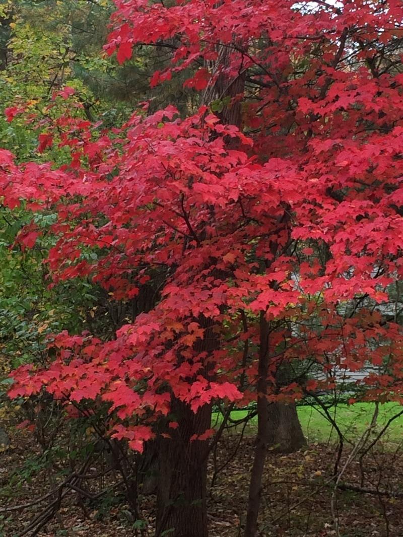 Red Tree in Hamlin Park