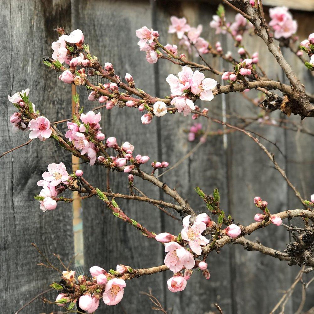 Spring Blossoms | Frederick Maryland | Safer Skincare | By Sarah Rae