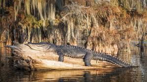 Louisiana Swamp Landscape
