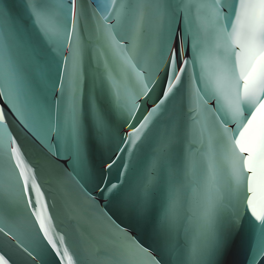 Aloe Vera gives The Body Crystal its light, fresh scent. Photography by  Madison Inouye.