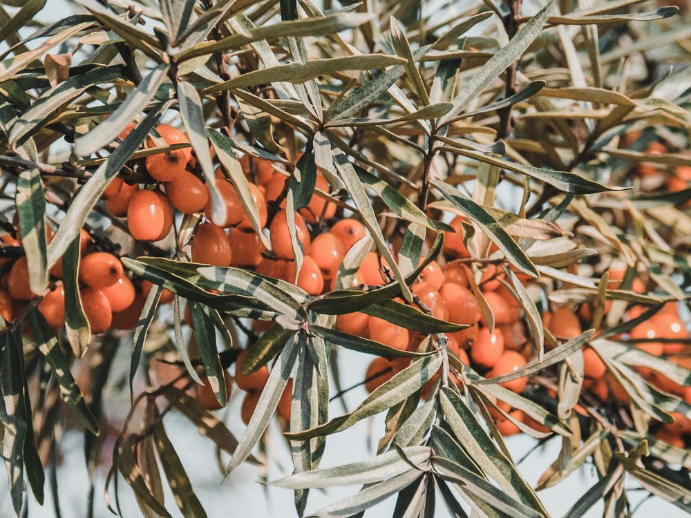 Oil is harvested from both the Sea Buckthorn fruit and seed.  Image sourced from  Bee By The Sea