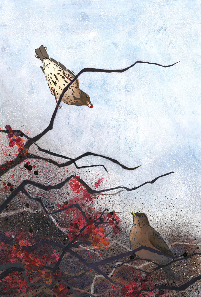 Song Thrush and Blackbird in Windswept Hawthorn