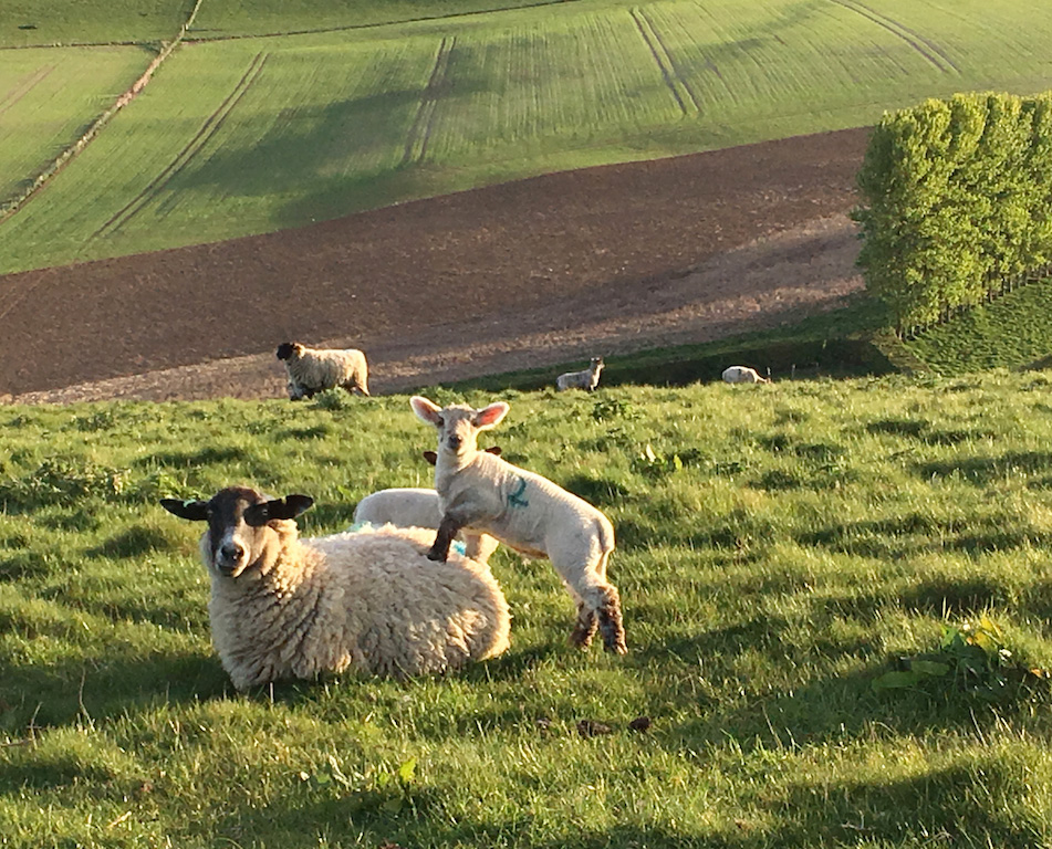 Sheep-and-lambs-on-hill-ed2.jpg