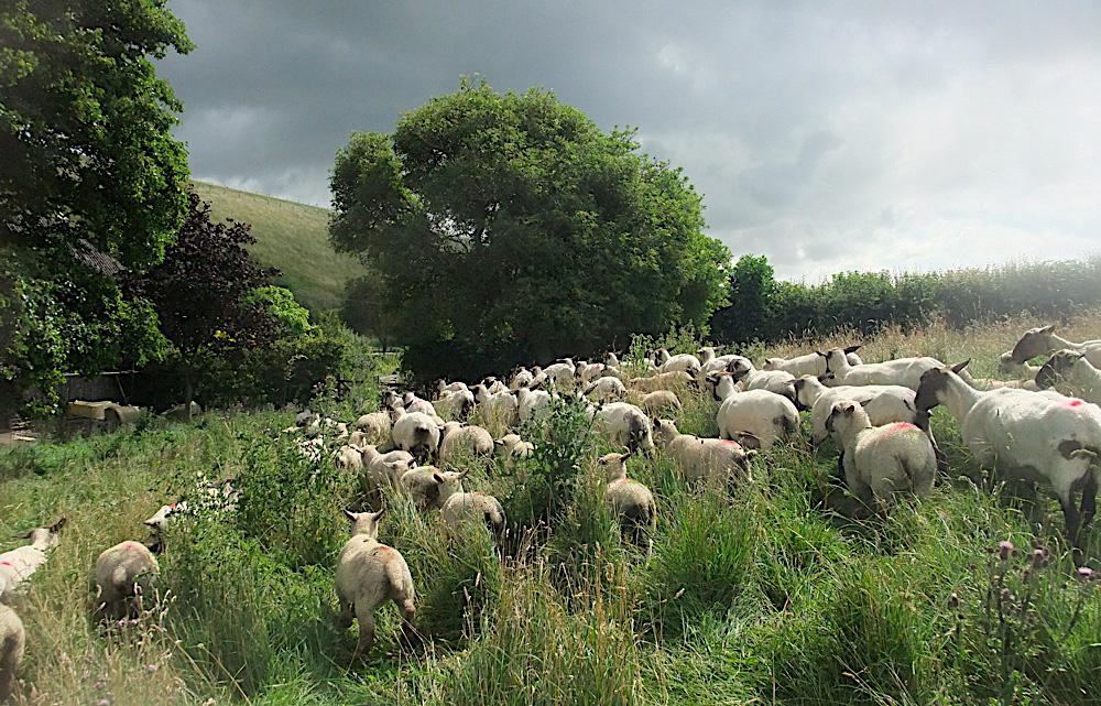 Sheep-2_b.jpg