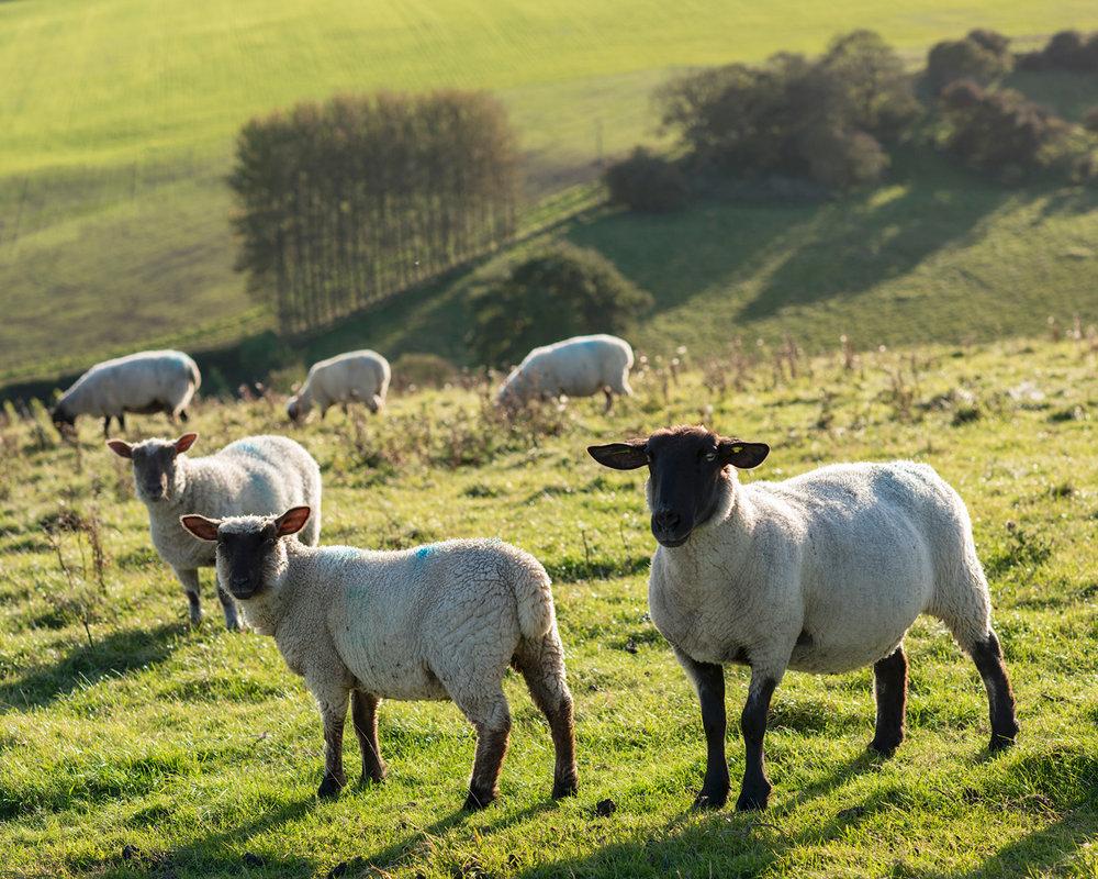 Sheep-1a.jpg