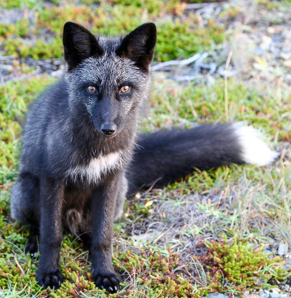 THE CAPE BONAVISTA FOX.