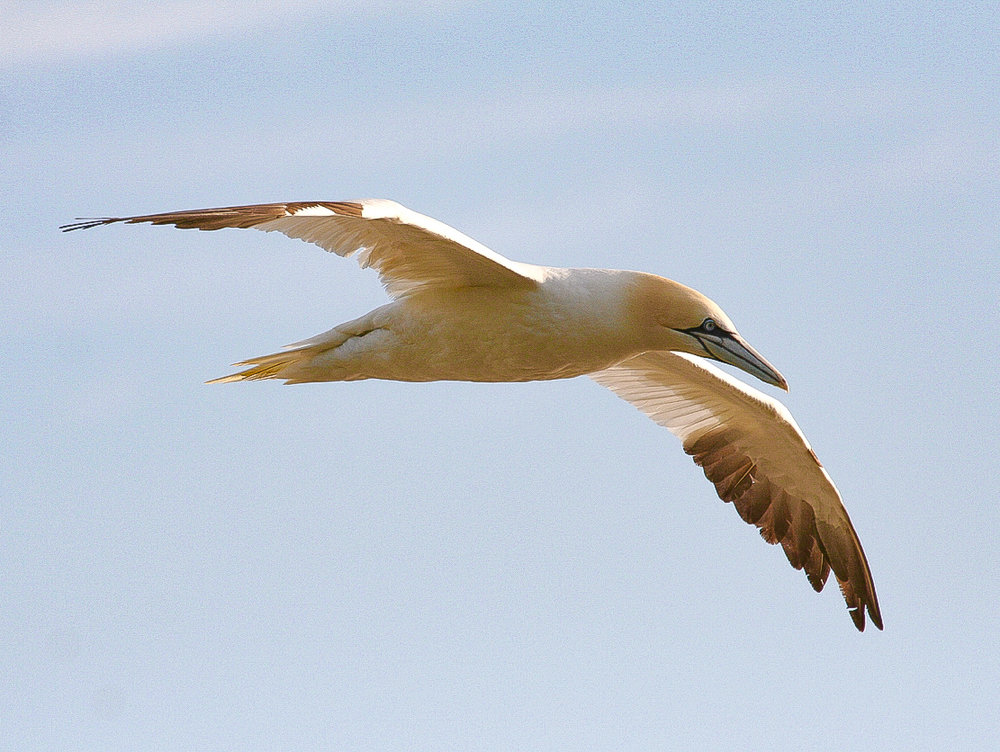 A GANNET IN FLIGHT. CAPE ST MARY.