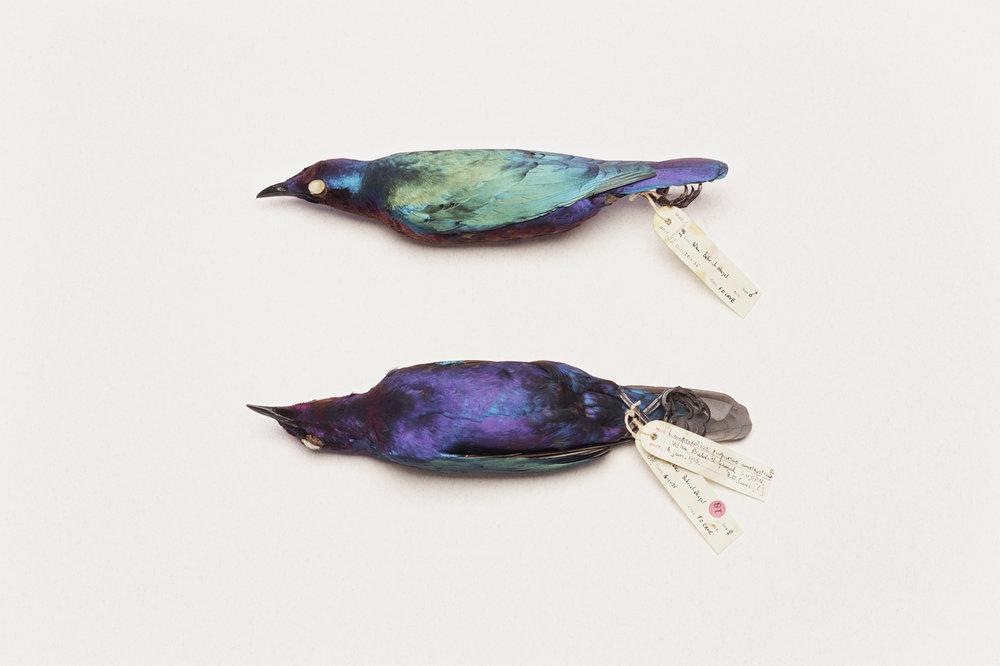 5. Lamprotornispurpureus (two 'glossy' starlings).jpg