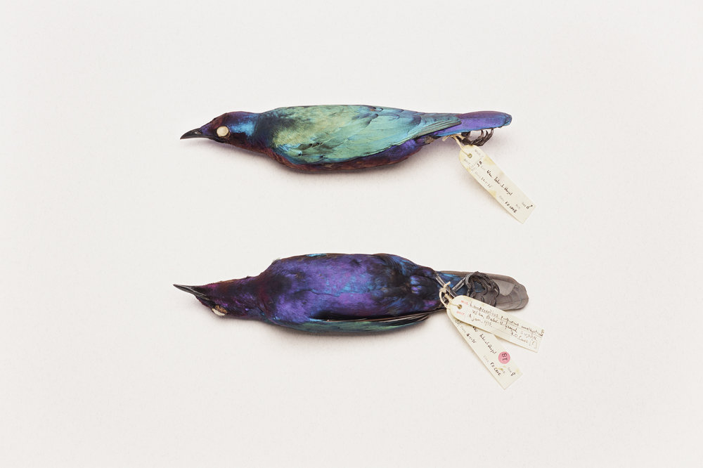 Lot #5 - Lamprotornis purpureus (two 'glossy' starlings)