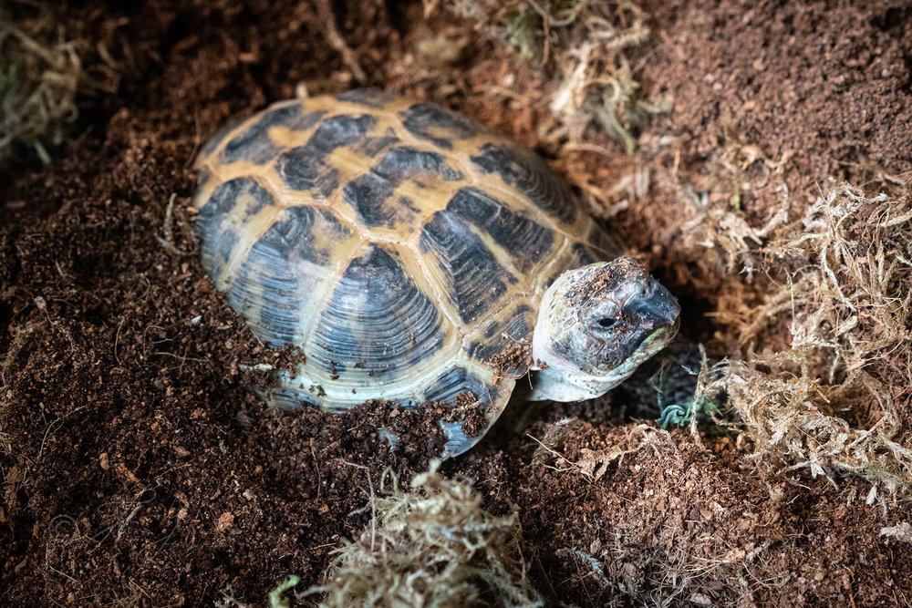 _DSC5048 tortoise.jpg