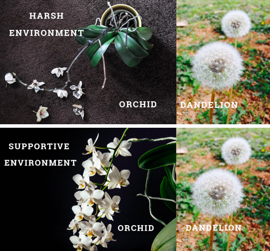 """While """"dandelions"""" do quite well in a range of environments, """"orchids"""" do extremely well in supportive environments and do poorly in harsh environments. This can help us think about why some children do well in the face of stress while others do not. Maybe the same kids who are struggling in harsh environments would really thrive in supportive environments!"""