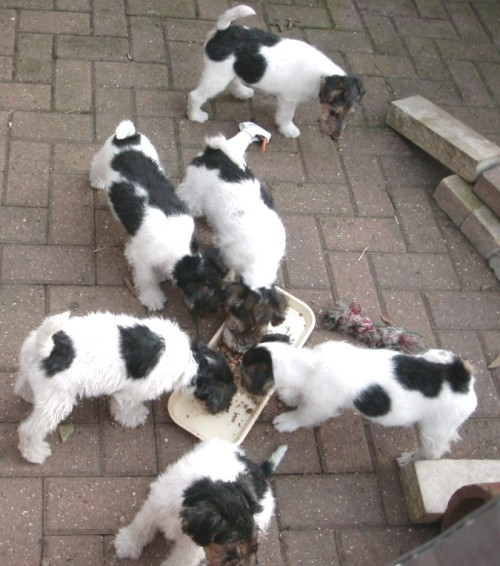 A litter of 8 week old puppies