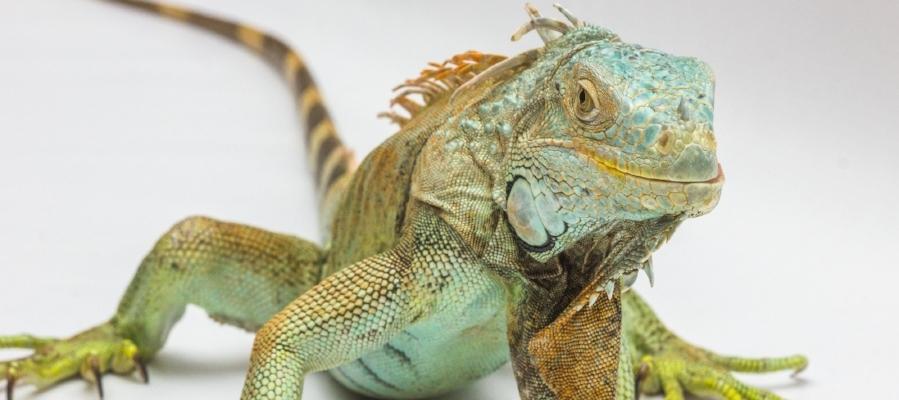 Iguana? Bring it on. -
