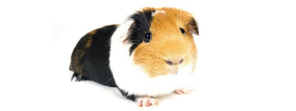 Got a guinea pig? We love 'em. -