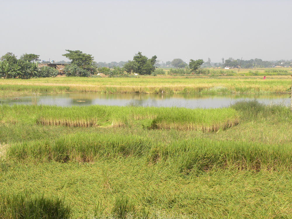 The inundated paddy fields of Makhanaha