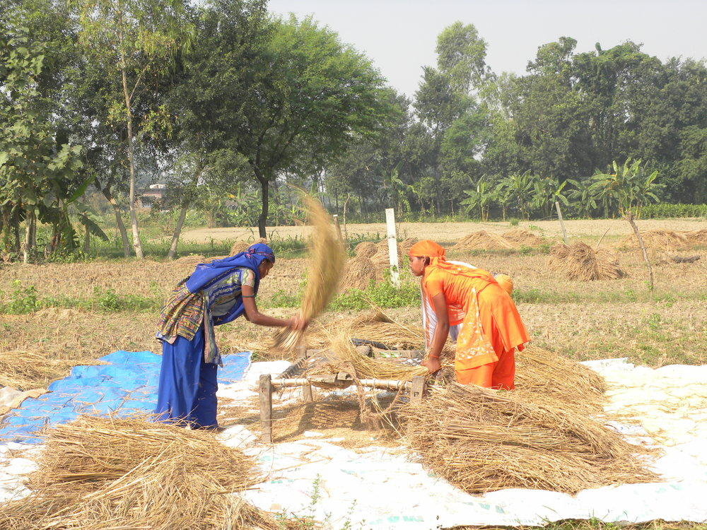 Teenaged girls winnowing in a field in Mirpur village in eastern Uttar Pradesh