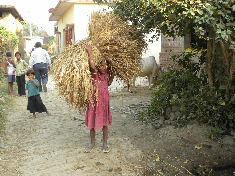 Young girls bringing home bundles of hay and stalks from the fields is a common sight