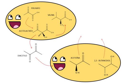 Figura 3 -  Una pequeña representación de qué es lo que pasa durante la producción del diacetilo en las levaduras. Cabe destacar que es una sobre simplificación, pero ayuda a comprender cómo se forma.
