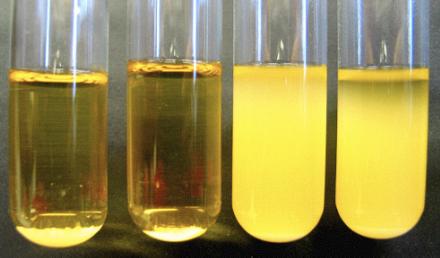 Figura 4 -  Podemos ver distintos tipos de levadura. Los primeros dos tubos tienen cepas más floculantes que las de los últimos dos. Es un intercambio de claridad de la cerveza por sabor a diacetilo. ¿Qué escogen? Yo escojo tanto claridad como limpieza de fermentación ya que son necesarias para cervezas de calidad.