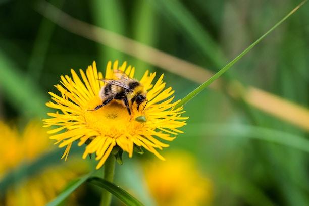 dandelionwbee.jpg