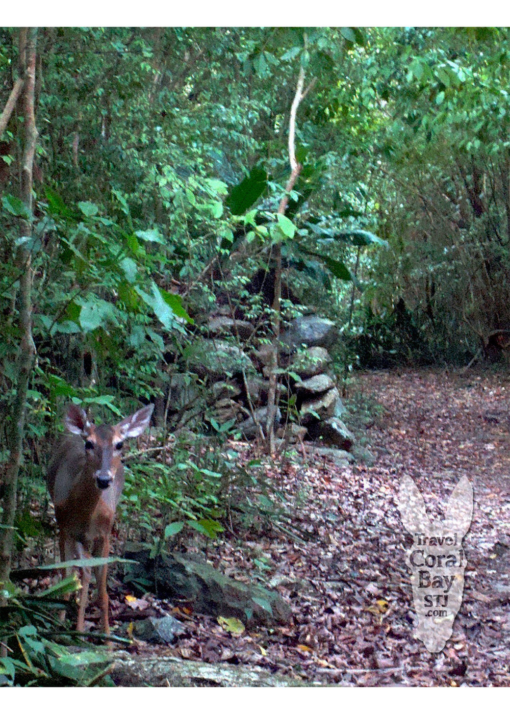 White-tailed deer sharing the path on the Reef Bay Hiking Trail.