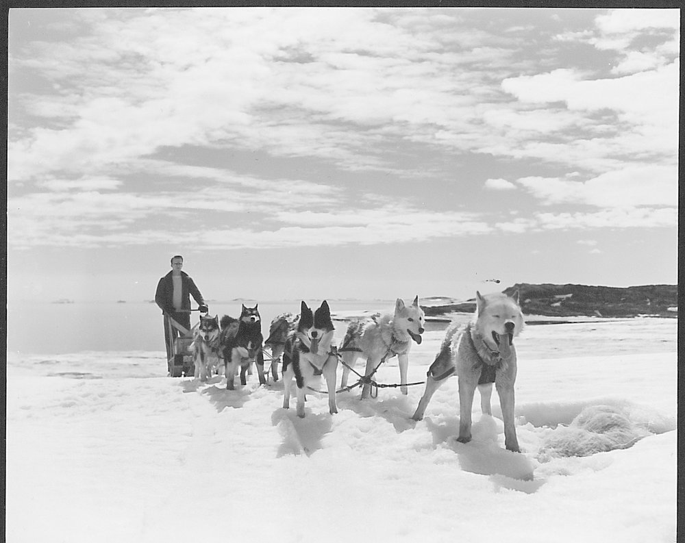 Wilkes Station Dog Team — Huskies were brought to Wilkes Station by the Americans in 1957, and were augmented by some brought down by the Australians when they took over the station in 1959. Sled dogs were used in the early years of the US Antarctic Program. Dogs and other non-indigenous animals were banned with the Antarctic Conservation Act of 1978. Photo credit: US Navy, USAP Photo Library
