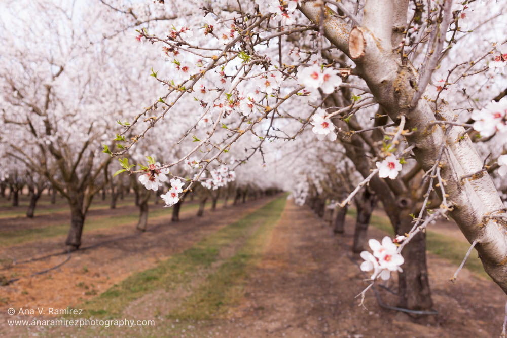 flowering trees decorative photograph