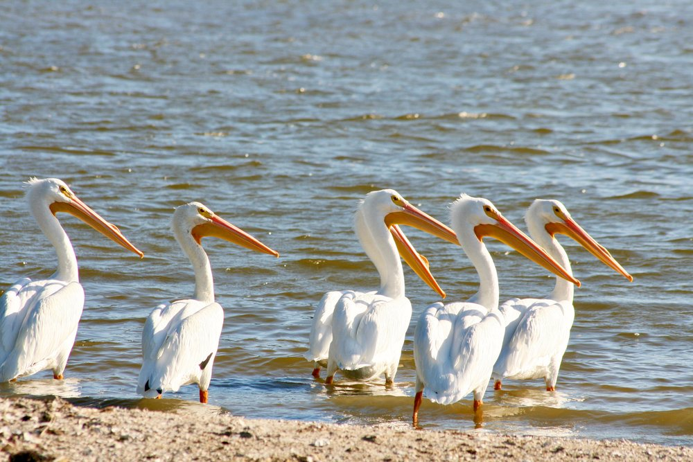 Gorgeous Birds - You'll encounter a variety of birds like the typical wading birds, with long legs and bills, that are a familiar sight to the lagoon. The Heron, Roseate Spoonbill, Egret and Ibis can be seen year round. The white pelican visits the treasure coast from November through April.Our two hour tour takes you to Bird Island, one of the breeding islands for many of these birds.