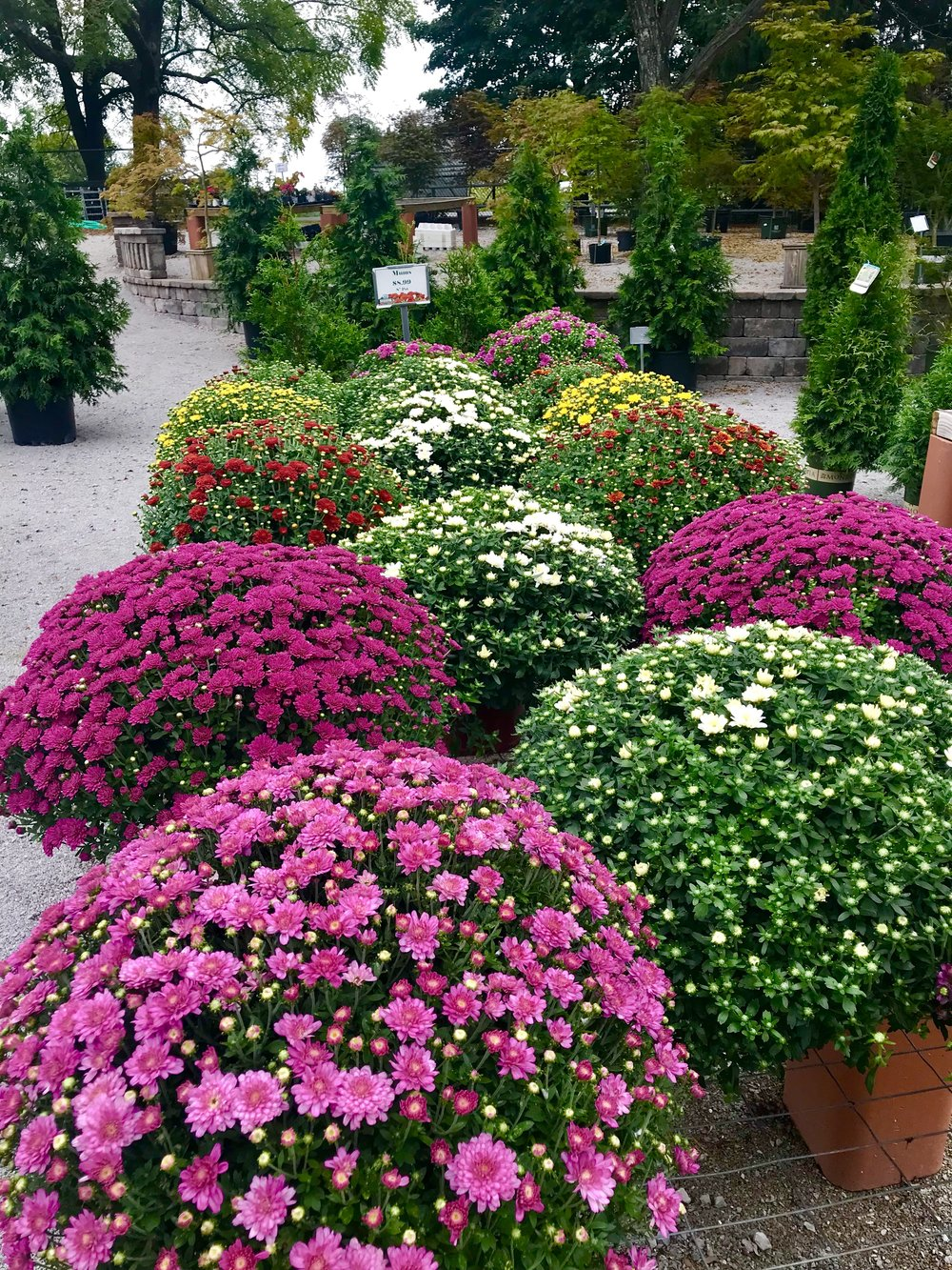 Mums are here!  - If you are looking for a pop of color this season, you can't go wrong with a Mum. We source ALL of our Mums from local farms. We are Kentucky proud!