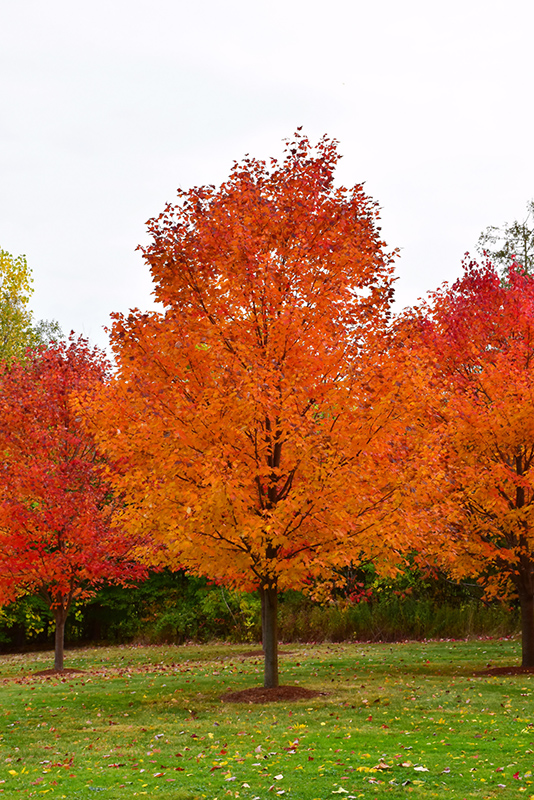 Sugar Maple - There are many varities of the Sugar Maple, many of which you'll see with Richard during the tree walk. The Acer saccharum 'Commemoration'' is a new option at Springhouse. As you can see, this tree brings the drama in the fall. Gorgeous coloring! Our trees haven't turned yet, so there is still time to plant and catch their Fall show. We have two sizes in this tree. 7' are $150 each and those standing 8-10' are $205.