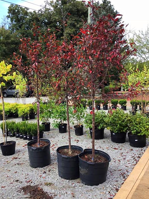 Crabapple Tree - The Malus x 'Royal Raindrops' (Crabapple) shown here is a winner all year! You'll find the branches flush with pink blooms in the Spring. The foliage maintains a purplish hue in the Summer which turns red in the Fall. It isn't often we have 3 in stock each around 7' tall and priced at $195.