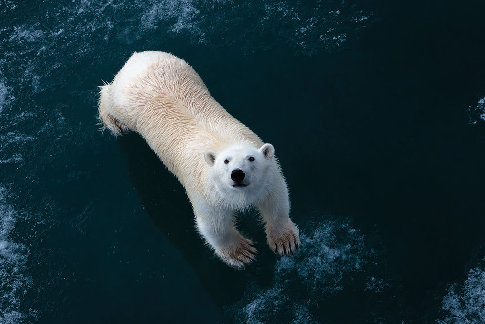Polar bear standing on the pack ice along side  Havsel