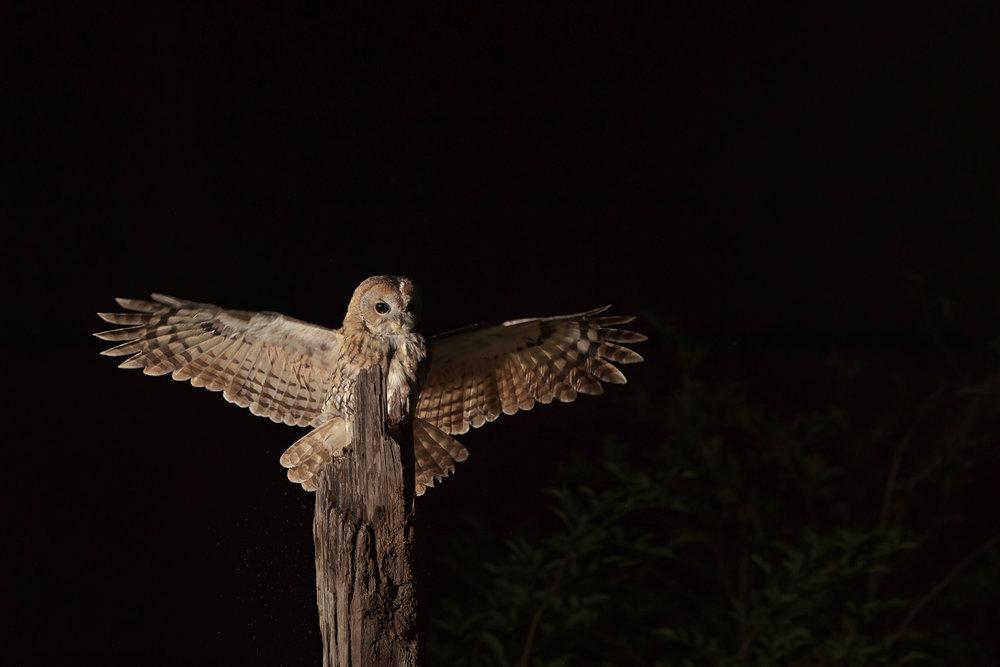 Tawny Owl  Strix aluco  landing on an old farm post