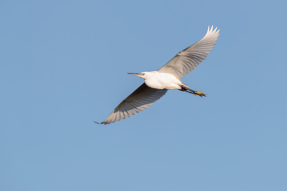 Little egret flying over a lagoon at Snettisham.