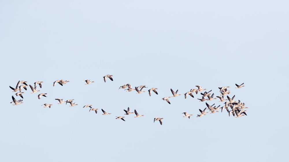 A flock of greylag geese arriving at Snettisham.
