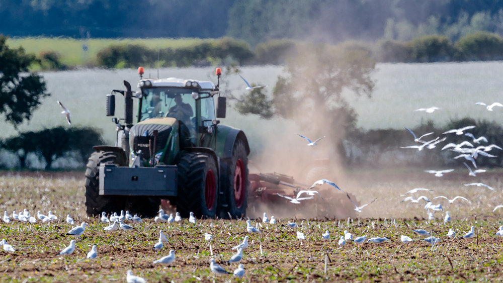 Seagulls following a tractor.