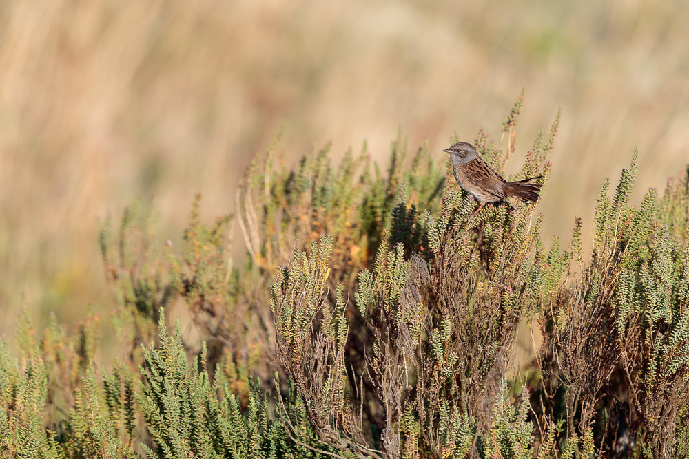 A dunnock on a heather.