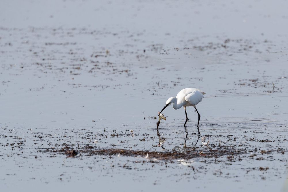 Little egret catching a fish