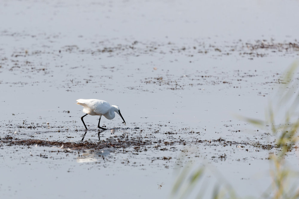 Little egret catching a dragonfly