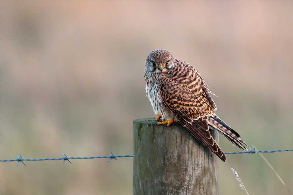 Kestrel on a farm post