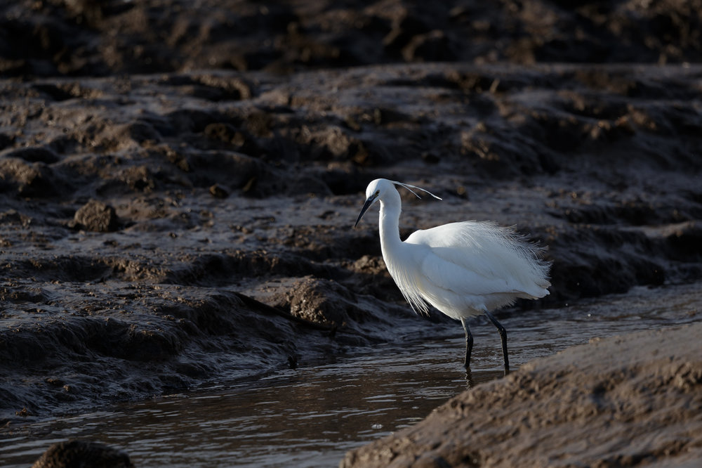 Little egret feedings in a harbour stream