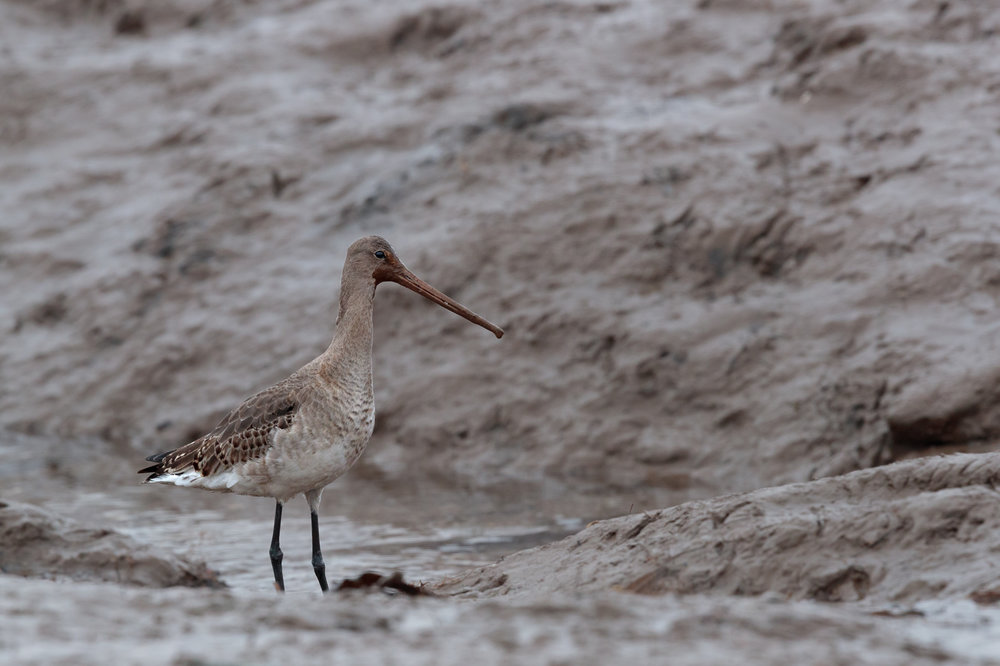 Blacktailed godwit feeding on harbour mud
