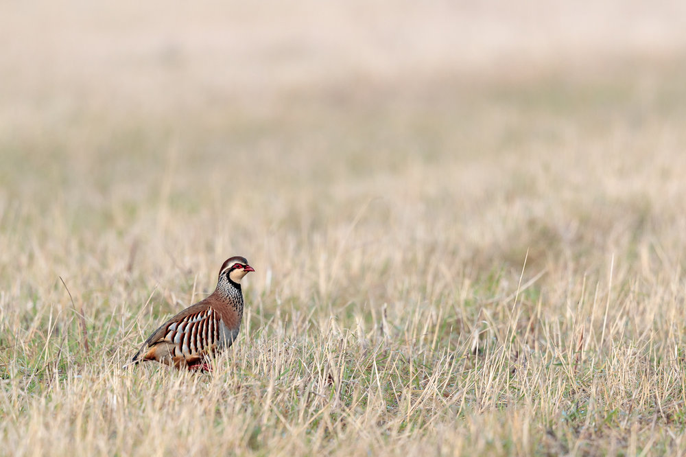 Red-legged partridge feeding on a Norfolk field